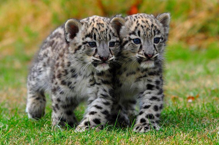 cute amur leopard cubs
