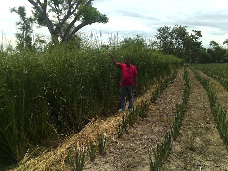 Barreras con Vetiver para protección de cultivos de Áloe en Saldaña Tolima - Colombia