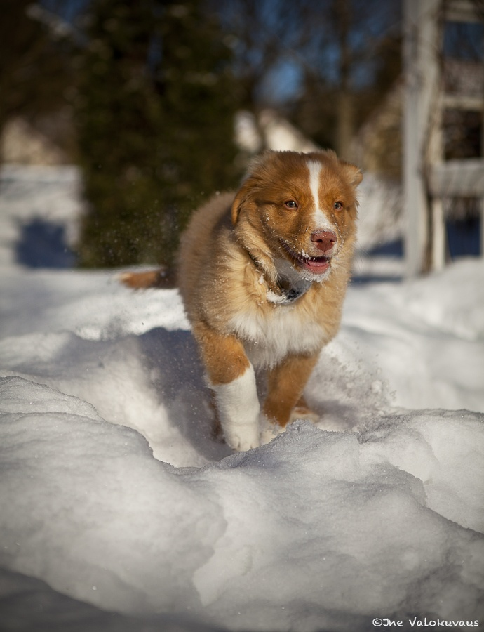 17 Best Images About Toller Puppys On Pinterest Cutest