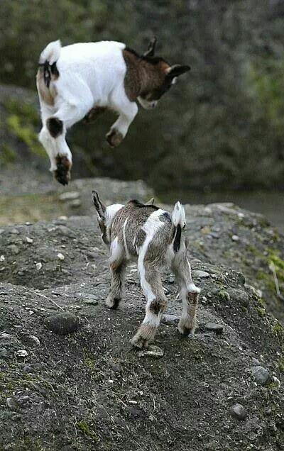Mountain goat play