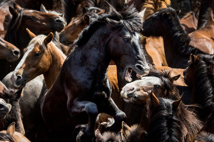 Taking place every year across Galicia, Rapa das Bestas, or 'Shearing of the Beasts,' involves cutting the manes of semi-feral horses that live in the mountains. Horses are rounded up into enclosures called curros, foals are branded and the adults groomed before being freed.