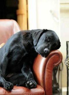 Sleeping black lab. Indigo Crossing