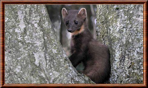 En anglais, la martre des pins est appelée European pine marten