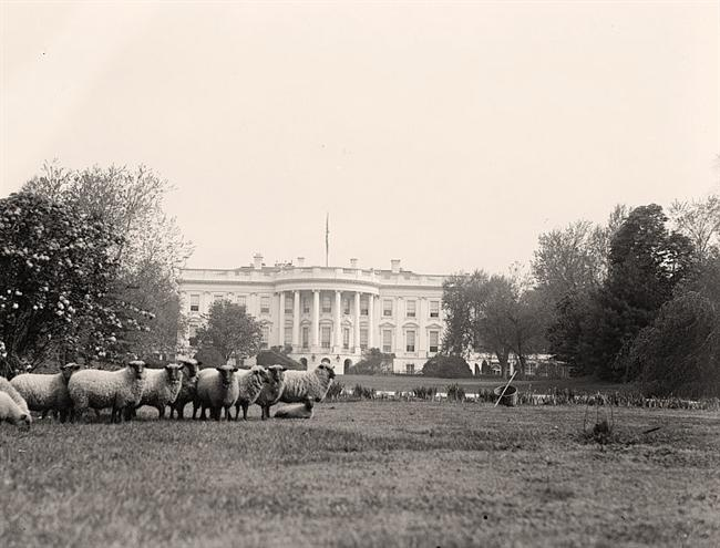 Sheep on the White House lawn, 1916