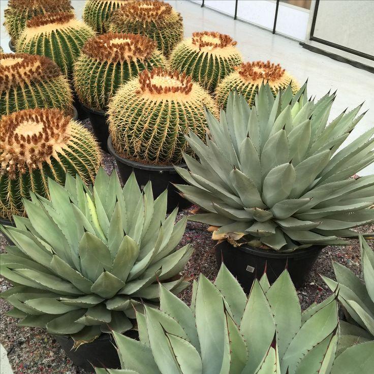 Store og flotte kaktuser og sukkulenter!