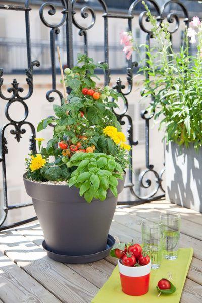 Planter des tomates cerises en pot
