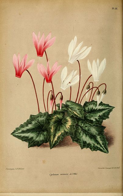 Cyclamen / Neerland's Plantentuin. v.1. Groningen :J. Wolters,1865-1867.