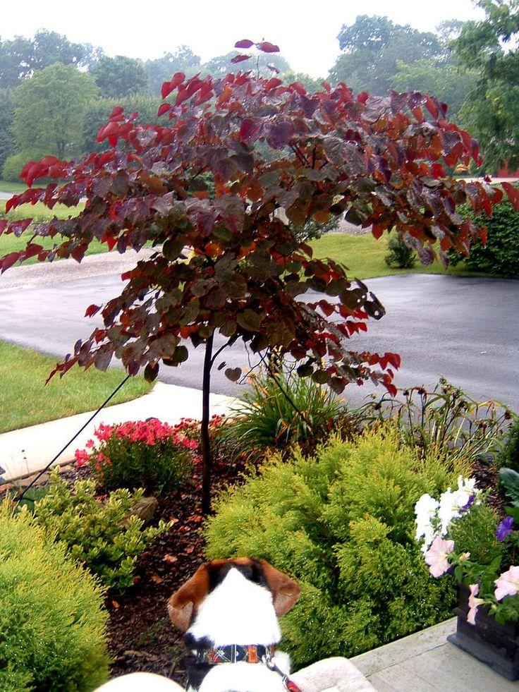 Eastern Redbud, Canadian Redbud, Judas Tree 'Forest Pansy'  Cercis canadensis