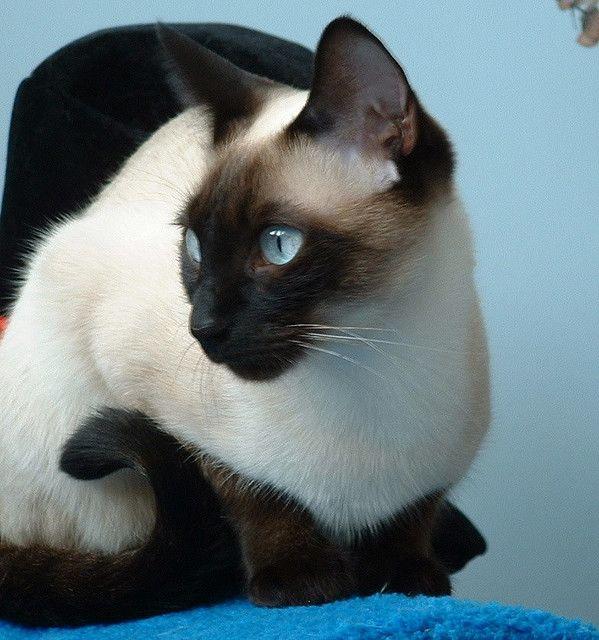 #Cats   Siamese