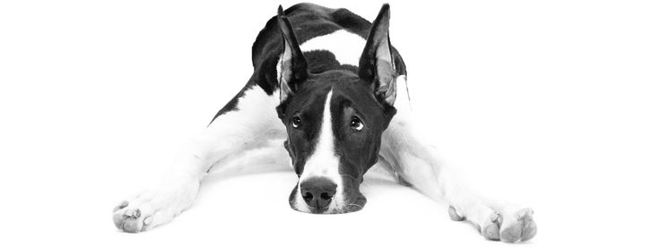 Common dog illnesses affecting the Great Dane and other large breeds, all about Great Dane health.