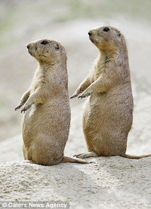 Two Black-tailed Prairie Dogs perform what could be a well drilled routine