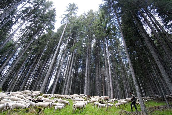 The Forest of Violins in Trentino Alto Adige  known for its high quality  and thin trees used to produce violins and other string instruments