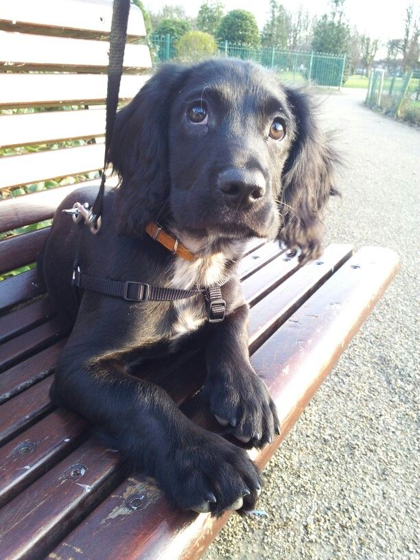 Our Sprocker Spaniel, Oreo. 1 year old, today!