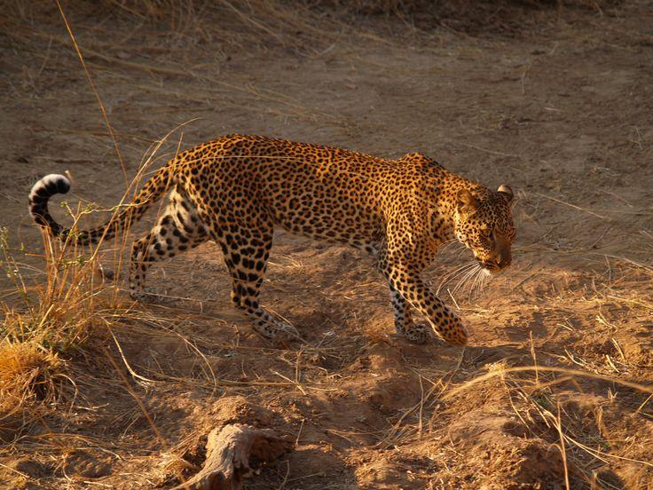 Léopard - #Malawi #safari