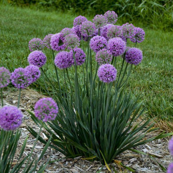 Allium Serendipity Ornamental Onion Allium Flowers Flower Landscape Fragrant Plant