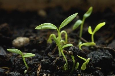 Parsley Seed Growing: Learn How To Grow Parsley From Seed - Parsley is a biennial that is primarily grown as an annual. Most of us buy our herb starts, but can parsley be grown from seeds? If so, how do you grow parsley from seed? Learn the answers to these questions in this article.