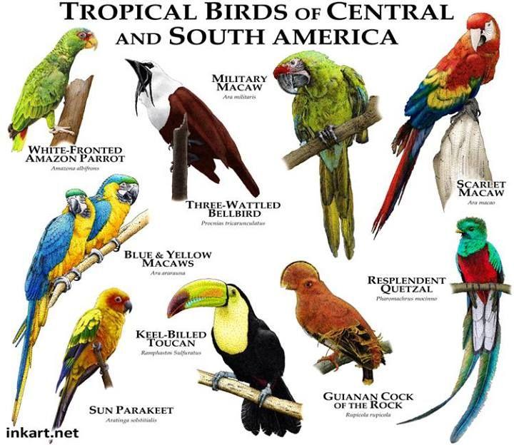 Tropical Birds Of Central & South America