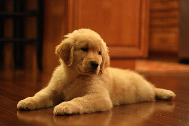 puppy.: Golden Puppys, Dogs Breeds, Golden Retriever Puppys, Inspiration Pictures, Labs Puppys, Fluffy Puppys, Dogs Lovers, Baby Dogs, Big Dogs