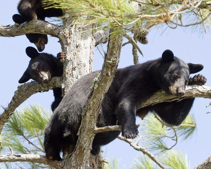 Bear attacks man, dog in Gulf Breeze - News - Northwest Florida Daily News - Fort Walton Beach, FL