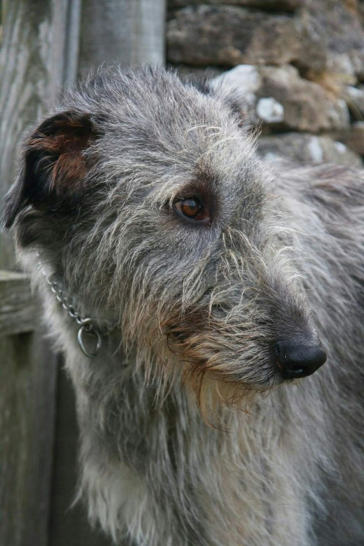 1895 best irish wolfhounds images on pinterest irish wolfhounds find this pin and more on irish wolfhounds by sheila318 geenschuldenfo Image collections