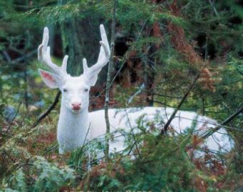 Albino white-tailed deer (Odocoileus virginianus)