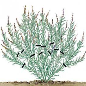 Lavande :Sur les jeunes plantes, la première année et en avril-mai, couper les tiges défleuries le plus près possible de leur base, puis rabattre les branches de la moitié de leur longueur pour provoquer le départ de nouvelles pousses qui viendront épaissir la touffe. jeunes plants: