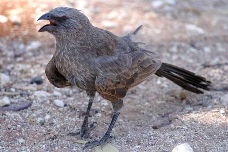 "Apostlebird, also known as the grey jumper, is a quick-moving, gray or black bird about 13"" long. It is a native to Australia where it roams woodlands, eating insects & seeds at, or near, ground level. AUSTRALIAN MUDNESTERS. Photographers: K Vang & W Dabrowka © Bird Explorers"