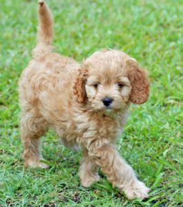 Scottish Terrier Poodle Mix
