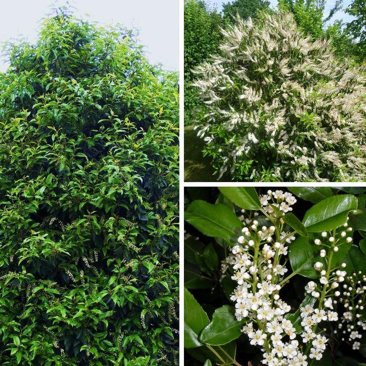 Prunus lusitanica - Laurier du Portugal - Prunier des Açores