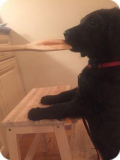 Los Angeles, CA - Golden Retriever/Labrador Retriever Mix. Meet Kuma, a puppy for adoption. http://www.adoptapet.com/pet/18065788-los-angeles-california-golden-retriever-mix