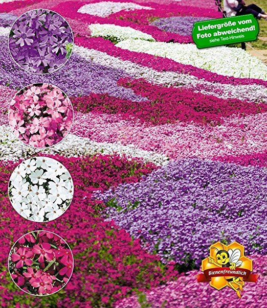 """BALDUR-Garten Phlox-Mix """"Flowers of the Sea"""",4 Pflanzen"""