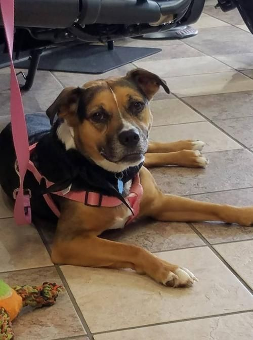 Molly is an adoptable Beagle searching for a forever family near Westminster, MD. Use Petfinder to find adoptable pets in your area.