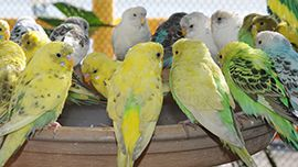 It's a bird's life on the Mississippi for these New Orleans' Parakeets. Watch them singing, snacking, and snoozing live on APL!VE