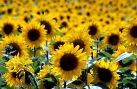Slunečnice je magická rostlina, je považována za božskou ( vytvořena bohy) a to pro svoji schopnost otáčet se za sluncem