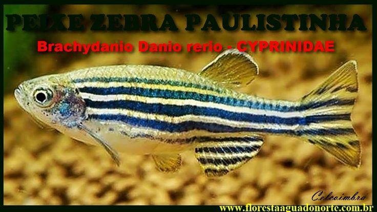 Natureza - Peixe Vivo - Aquário - Paulistinha Zebra - Danio rerio - Celc...