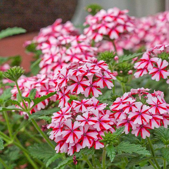 Pretty Lanai Candy Cane Verbena flowers look like peppermint candies when they bloom. More gardening trends: http://www.bhg.com/gardening/flowers/new-annuals/?socsrc=bhgpin031613candycaneverbena