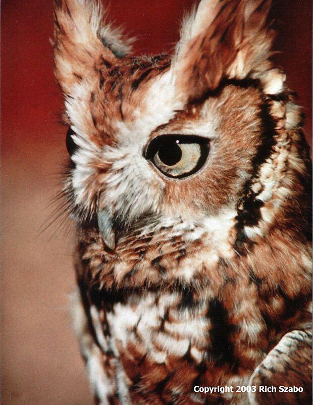 Eastern Screech Owl (Megascops asio) red phase. Photo by Rich Szabo.