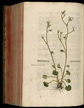 184843 Saxifraga granulata L. / Fuchs, L., New Kreüterbuch, t. 428 (1543)