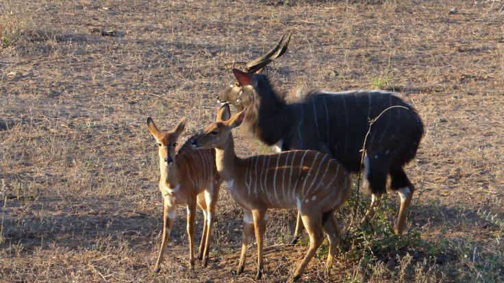 Nyala family