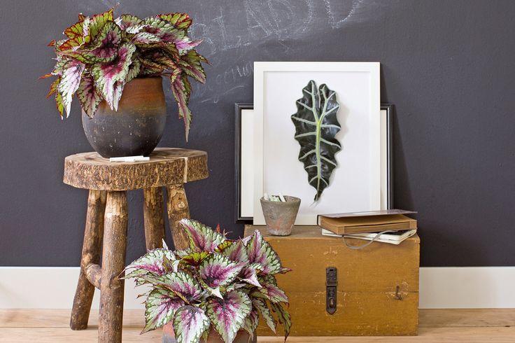 Een groen hoekje kan ook met planten met gekleurd blad #intratuin #bladbegonia