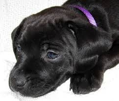 Billedresultat for cute puppies bokser labrador sort