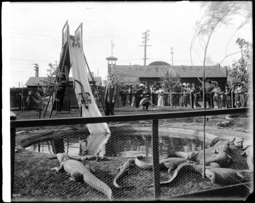 Alligators going down a toboggan slide at an alligator farm (possibly the California Alligator Farm, Los Angeles), ca.1900 :: California Historical Society Collection, 1860-1960