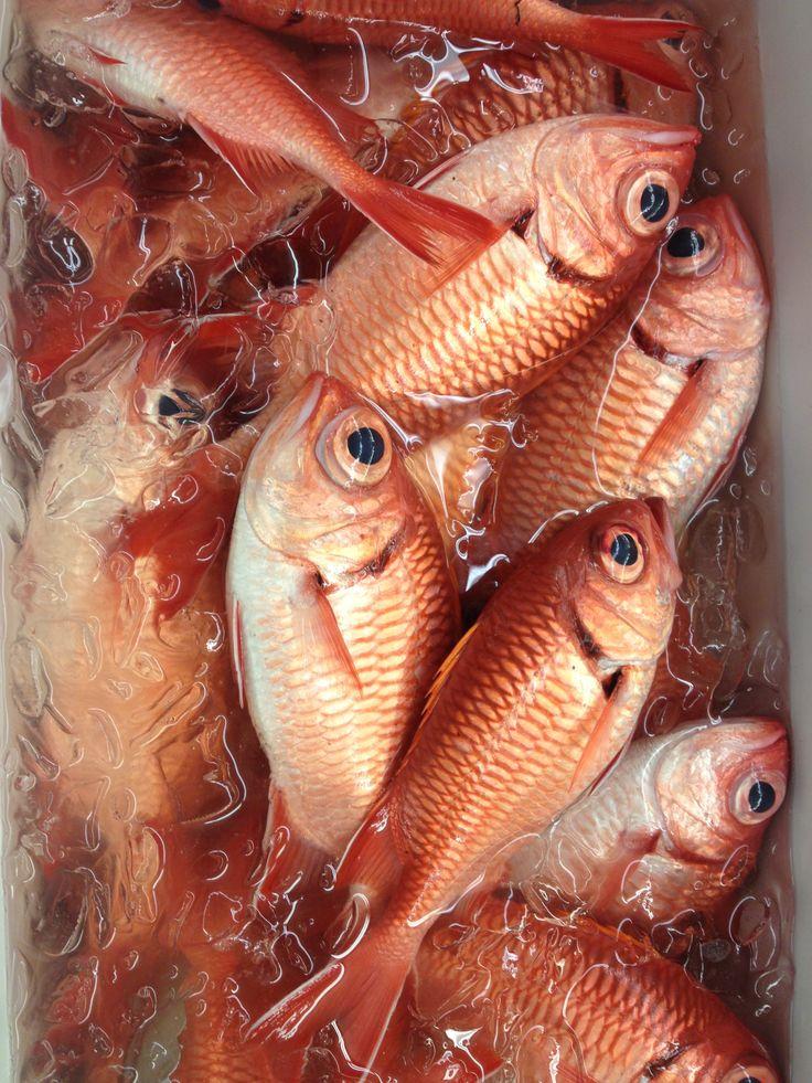 Hawaiian reef fish | species you might catch off Maui Hawaii