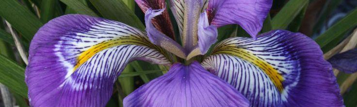 Iris for sale,buy Iris,Japanese Iris,Louisiana Iris,Japanese iris