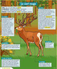 Le cerf rouge - Mon Quotidien, le seul site d'information quotidienne pour les 10-14 ans !