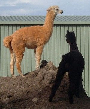 Alpacas Harrison (left) and Harley were beaten to death. Persist RSPCA Qld you are supported by the Australian majority !