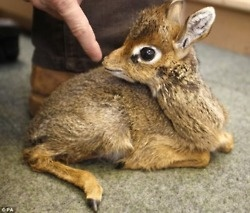 "A dik-dik, pronounced ""dĭk' dĭk"", is a small antelope in the Genus Madoqua that lives in the bushes of eastern and southern Africa. (ZOMG SO TINY THAT IS SOMEONE'S FINGER)"