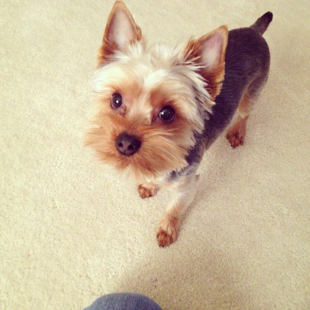For Groomer Reference In The Future Cute Yorkie Grooming Haircut