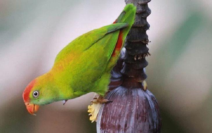 Mengenal Lebih Dekat 3 Jenis Burung Serindit Manca Dan Ciri Khasnya Burung Jalak