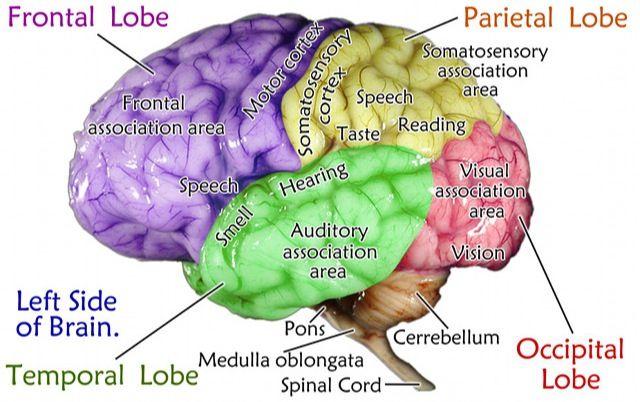 The Brain   Occipital lobe, Somatosensory cortex, Occipital